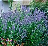 Amazon / Hirts: Agastache: Blue Fortune Hummingbird Mint - Agastache - Anise Hyssop - Hardy - Gallon Pot