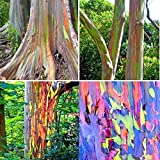 40個レインボーユーカリ種子ユーカリDeglupta種子庭の装飾工場