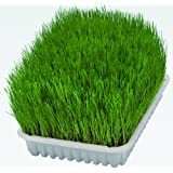 Cat Grass 100g (including tray)