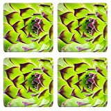 MSD Natural Rubber Square Coasters IMAGE ID 36829694 natural plant shape closeup of the green sempervivum houseleek