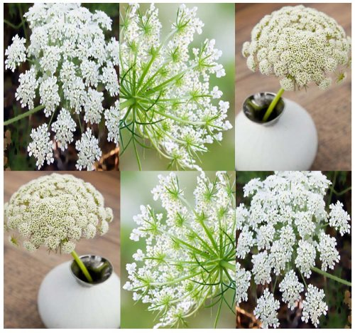 Bishop's Flower Seeds - Psoriasis Treatment - Flower And ROCK Gardens