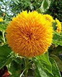 Teddy Bear Sunflower - 20 Seeds, 750 mg