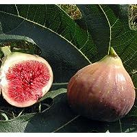 Violet De Bordeaux Negronne Edible Fig Plant - Ficus carica - Sweet - 4
