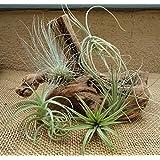 5 Pack Assorted Tillandsia Air Plants