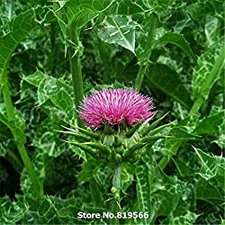 Milk Thistle Seeds Traditional Medicine Herb Plants Silybum Marianum Bonsai Holy Thistle Sementes Outdoor Blessed Thistle