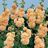 Flora Fields Hollyhock (Alcea) - Chater's Double Apricot