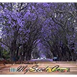 BIG PACK - Paulownia Elongata Tree Seeds (5,000+), aka Empress Tree - Very Large Leaves, Shade Tolerant - Non-GMO Seeds By MySeeds.Co