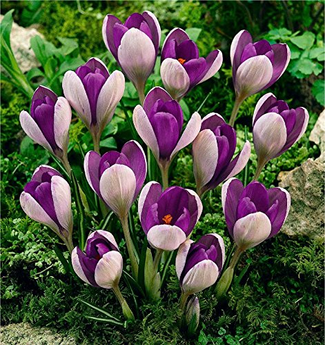 20-CROCUS-BULBS-YALTA-SELECT-COLLECTION-PLANT-WITH-SNOWDROP-DAFFODIL-IRIS-ERANTHIS-BEE-FRIENDLY