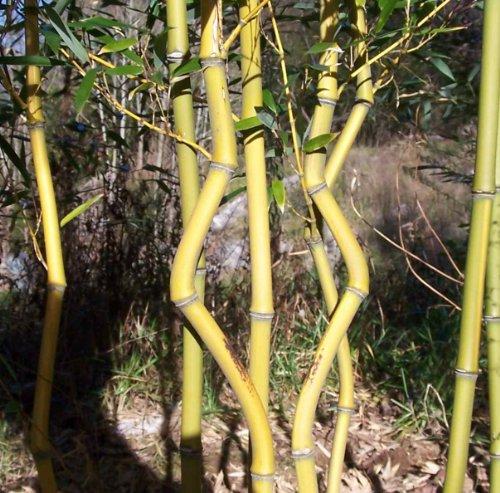 Phyllostachys aureosulcata 'Aureocaulis', Golden Crookstem Bamboo, #1 Size Live Plant