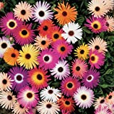 84 Livingstone Daisy Mini Plug Plants - Ideal for borders and pots - Pre Order for April 2014 (mesembryanthemum)