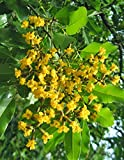 SEED Seller: Pterocarpus marsupium known as Malabar Kino, Benga, Kempu Honne tree Seeds for growing. Rare Ayurvedic Medicinal plant seeds (30)