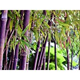 200pcs Rare Purple Timor Bamboo Seeds Bambusa Black Bamboo Seeds Planted