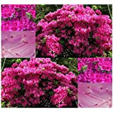 300 x Rose Azalea - Rhododendron rosea SEEDS - GREAT FOR ACCENT AND GENERAL USE - ZONE 5 AND UP - By MySeeds.Co