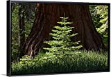 Baby Redwood Tree in front of parent, Redwood Forest, Yosemite, California Canvas with Floating Black Frame