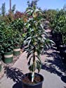 Stuart Avocado Tree Five Gallon