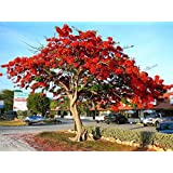 Royal Poinciana Flame Tree 15 Seeds - Delonix -Tropical
