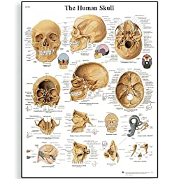 3B Scientific VR1131L Glossy Laminated Paper Human Skull Anatomical Chart, Poster Size 20\