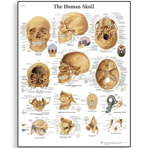 3B Scientific Glossy Paper Human Skull Anatomical Chart - 1