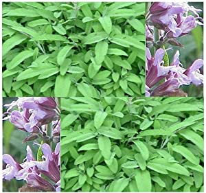 PEPPERY GARDEN SAGE - Salvia officinalis HERB Seed SEEDS - ITALIAN COOKING - Perennial evergreen shrub - Zone 4 - 8 (0060 Seeds - Pkt)