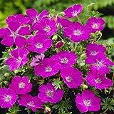 Geranium sanguineum Max Frei - 1 plante