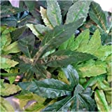 Terrarium Silk Plant 50cm/20″ – Abutilon