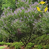 CHASTE TREE Vitex Negundo 10,20 SEEDS