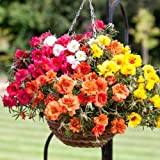 Hybrid PORTULUCA Mixed Flower Seeds 100 seeds pack by Seedscare India