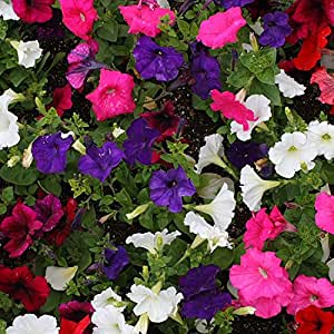 Pepper Agro Pepper Agro Mixed Petunia NC Seeds