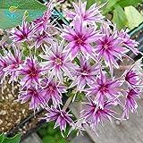 100 Grainesデフルールフロックスの種子は、花植物ホームガーデン種子ベストスモールハーブ植物盆栽種子を混合することができます