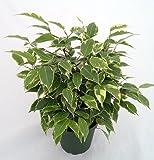 "Java Starlight Weeping Fig Tree - Indoor or Bonsai -Ficus - 4"" Pot"