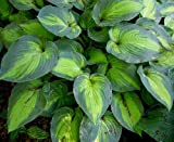 Amazon / Hirts: Hosta: June Hosta - Hosta of the Year 2001 - Blue/Green Edges - Gallon Pot