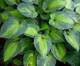 Amazon / Hirts: Hosta: June Hosta - Hosta of the Year 2001 - Blue/Green Edges - Gallon Pot