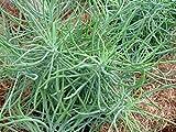 Seedlings india Succulents Senecio Vitalis Blue