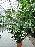 """Die schönste Zimmerpalme der Welt ! Riesige Howea Forsteriana """"Kentia"""