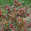 Little Goblin Red - Winterberry - Ilex verticillata - 4\