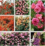 (150 Seeds @No1) 1 Professional Pack, 150 Seeds / Pack, Rare Pink Orange Red Purple Yellow Climbing Rose Seeds, Hardy Climbing Flowers