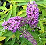 PACK OF 3 Buddleia Flutterby Peace - Grown in 9cm Pot - Buddleja Butterfly Bush Shrub Plant