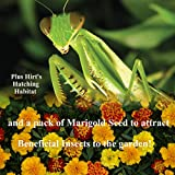 Praying Mantis 5 Egg Cases 500 - 2,000 Babies + Hirt's Hatching Habitat + Seeds