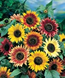 """Sunflowers Mat - Grow Sun Flower Garden Flowers. Includes: (1) Pre-seeded 17"""" x 5' Flower Seed Mat. Simply Roll out, plant and grow. Instant garden mat for flowering bushes."""