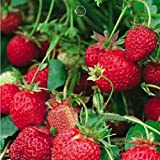 1 Bag 50 Seed Organic Strawberry Fragaria ananassa Delicious Fruits