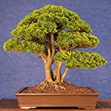 Bonsai Seeds - Bonsai Redwood Tree Seed, Pack Of 10 Seeds Sold By VasuWorld