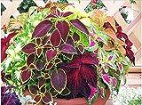(ミックス)コリウス、コリウスscutellarioides、共通の庭のコリウス観賞用花の種 - 35シード粒子