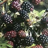 THORNLESS BLACKBERRY BUSH OREGON IN 2 LITRE POT PRUNED TO APPROX 70cm TALL - FRUIT BUSH PLANT TREE