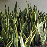 Laurentii Snake Plant - Sanseveria - Impossible to kill!