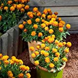 Suttons Seeds 122647 Marigold French Mowgli Seed