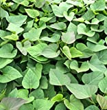 鹿児島産安納芋の苗10本セット