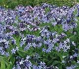 Blue Star Perennial 15 Seeds - Amsonia