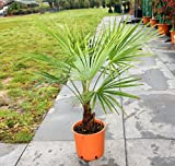 Trachycarpus fortuneii / Chusan Palm : 5L Pot : 65-70cm High (exc pot)