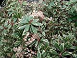 Dwarf Lily of the Valley Shrub - Andromeda Little Heath - Hardy - 4