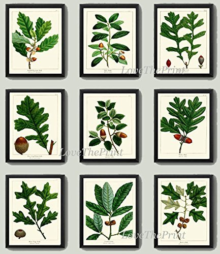 botanical-print-set-of-9-antique-beautiful-redoute-acorn-tree-branch-green-leaf-nuts-forest-nature-h